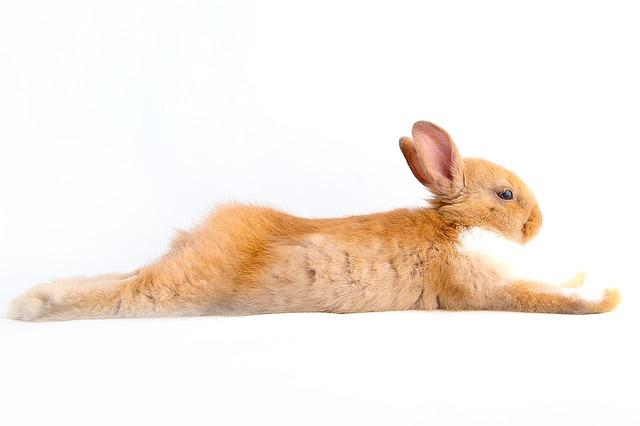 natažený králík