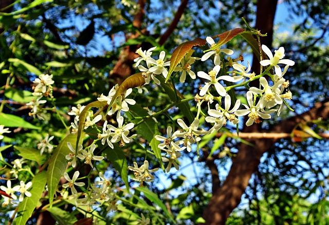 Zederach indický v květu